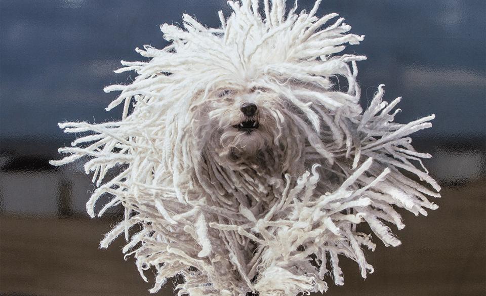 Câine din rasa Komondor în alergare.