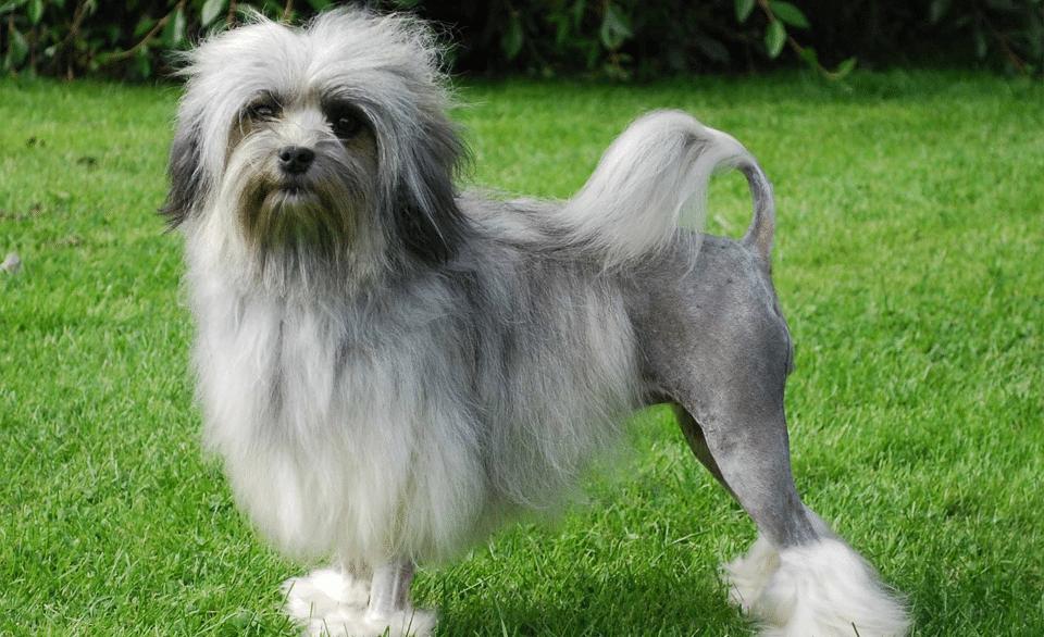 Câine Lowchen stând în iarbă.