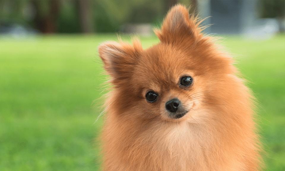 Câine rasa Pomeranian văzut de aproape.