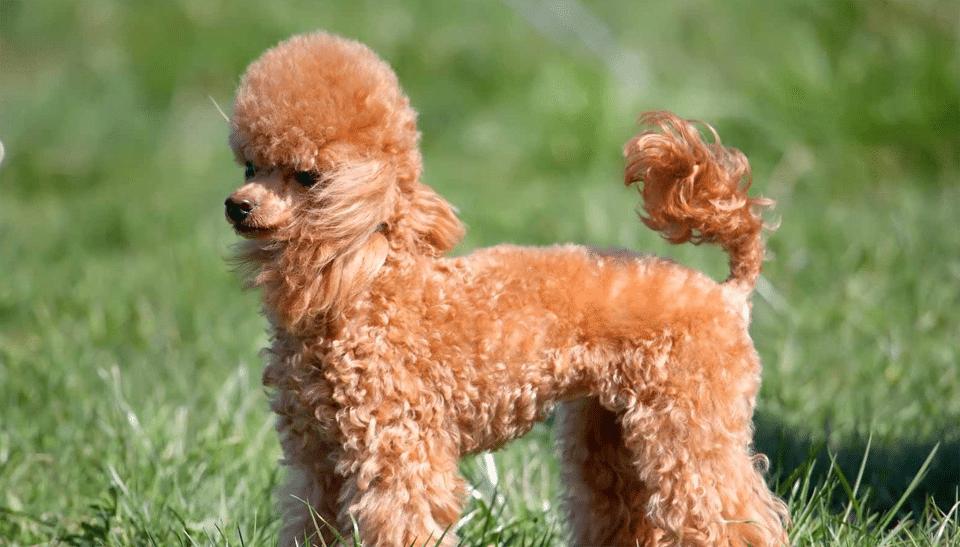 Câine rasa Pudel stând în iarbă.