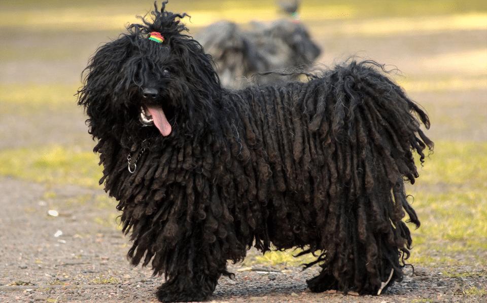 Câine Puli negru văzut de aproape.