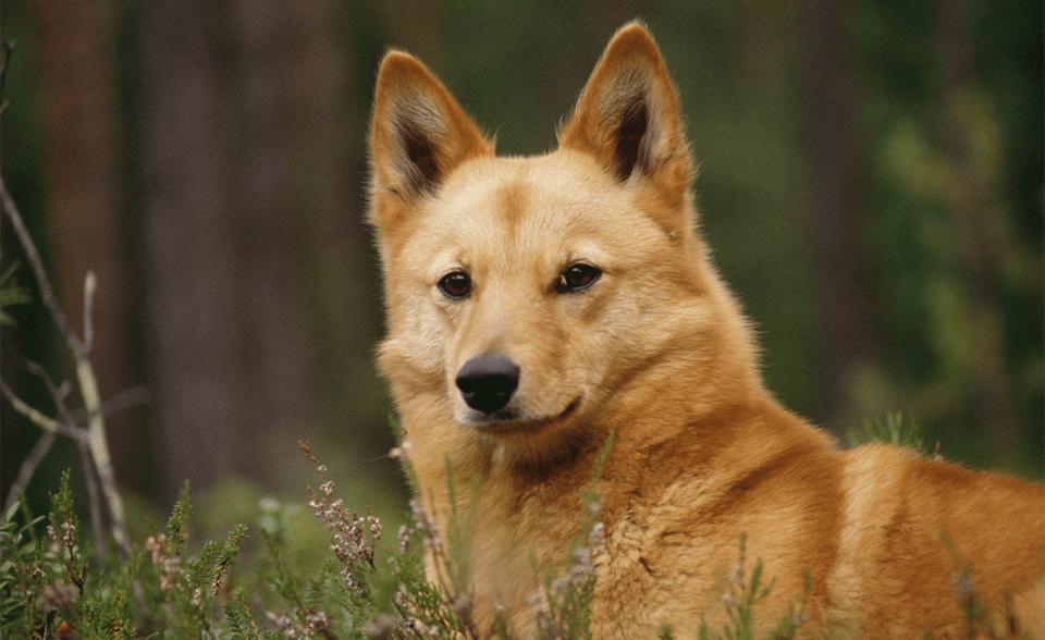 Câine Spitz Finlandez (Finkie) văzut de aproape.