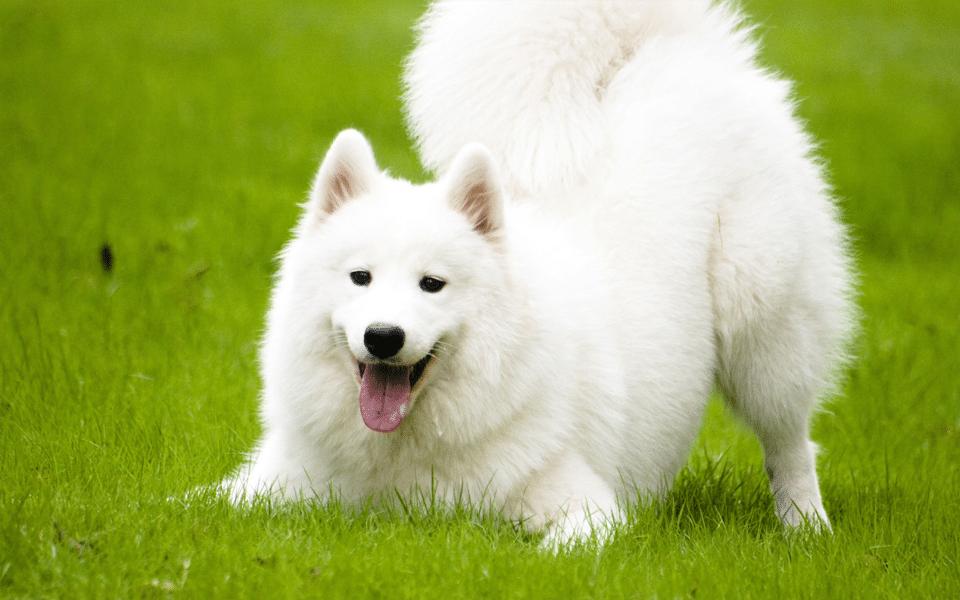 Câine Samoyed jucându-se în iarbă.