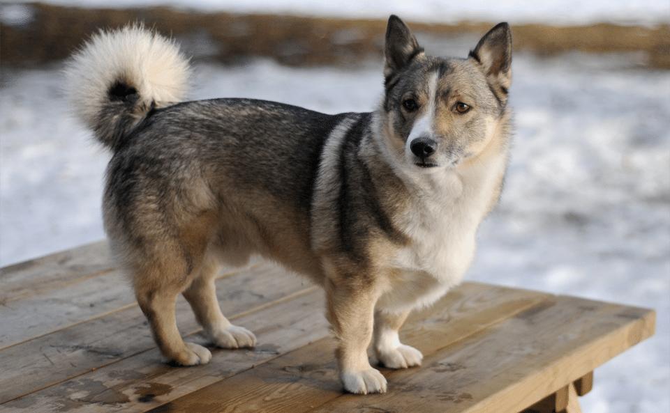 Câine Vallhund Suedez stând pe o masă din lemn.