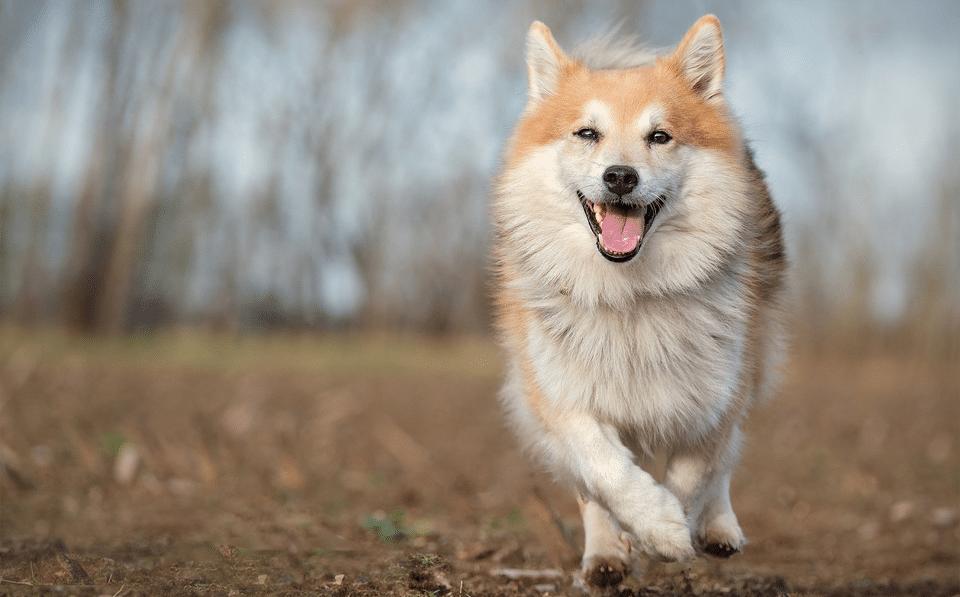 Câine din rasa Ciobănesc islandez alergând.
