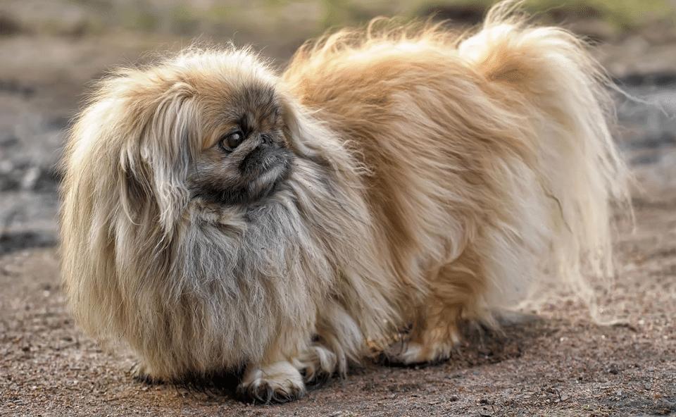 Câine Pechinez stând pe pământ.