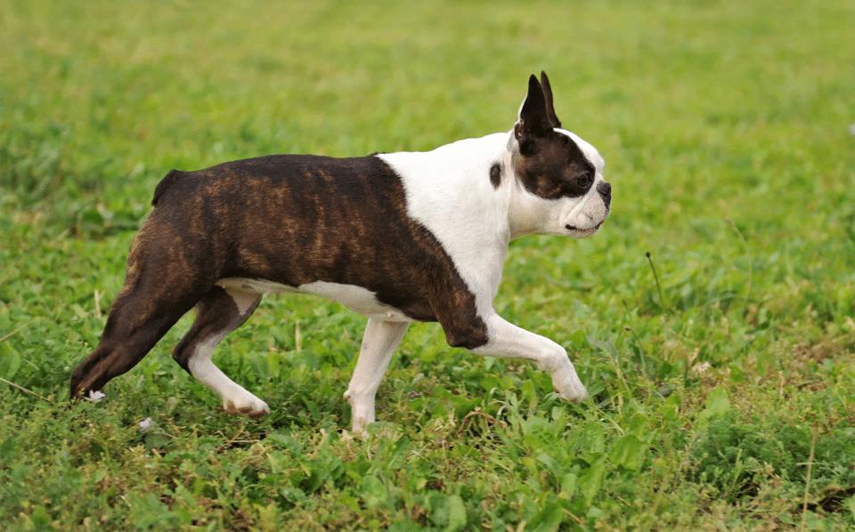 Câine rasa Boston Terrier mergând prin iarbă.