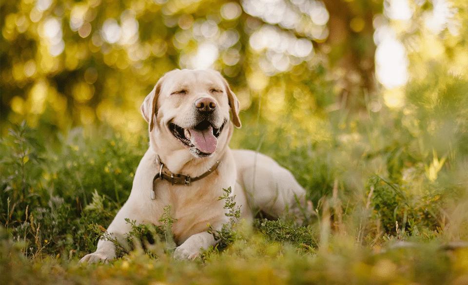 Câine Labrador Retriever stând culcat pe pământ.