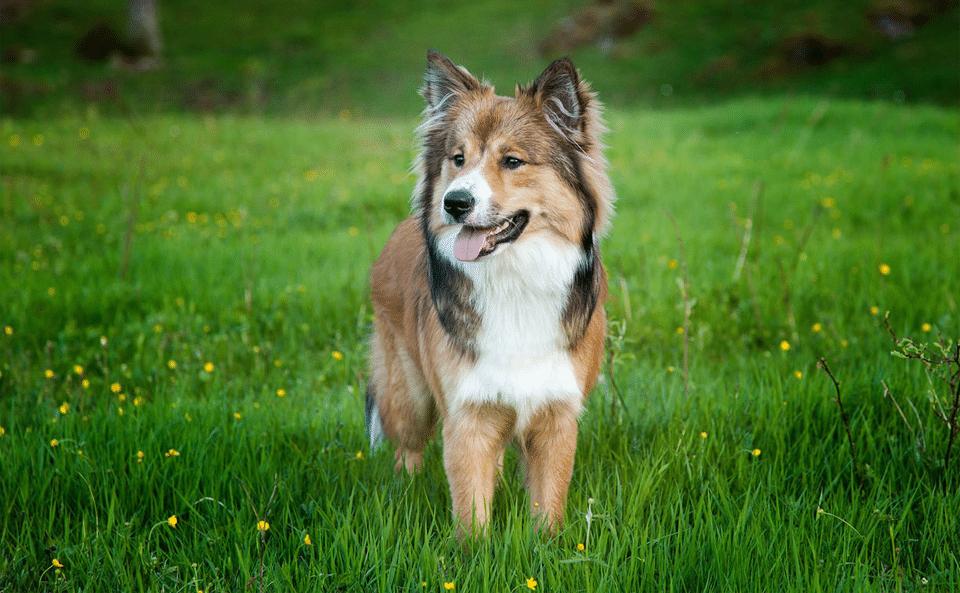 Câine din rasa Ciobănesc islandez stând în iarbă.