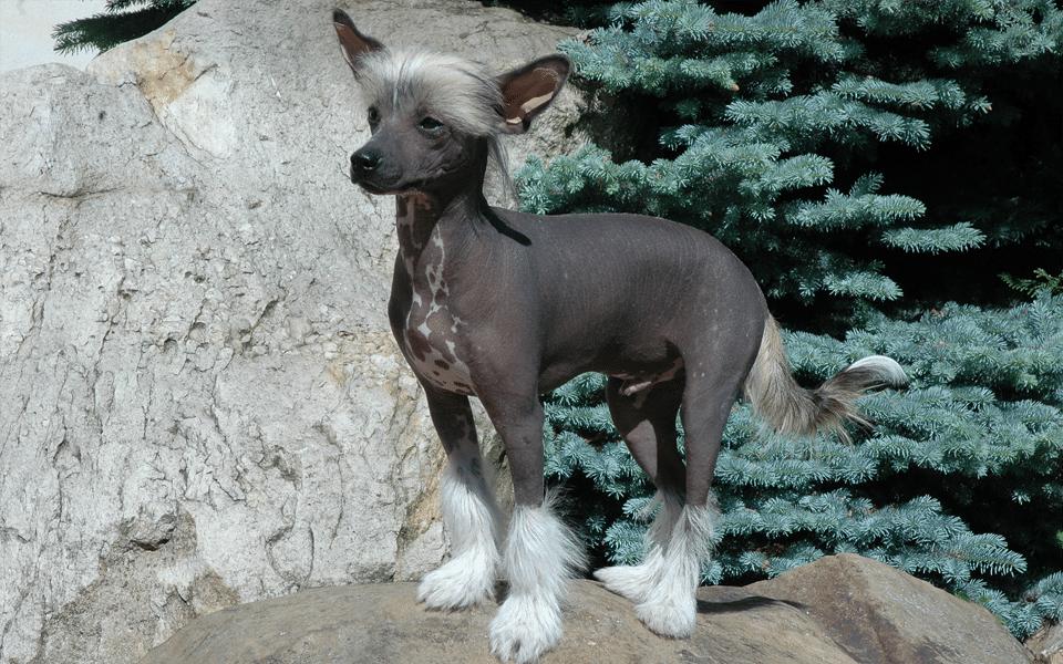 Câine chinez cu creastă stând pe o piatră.