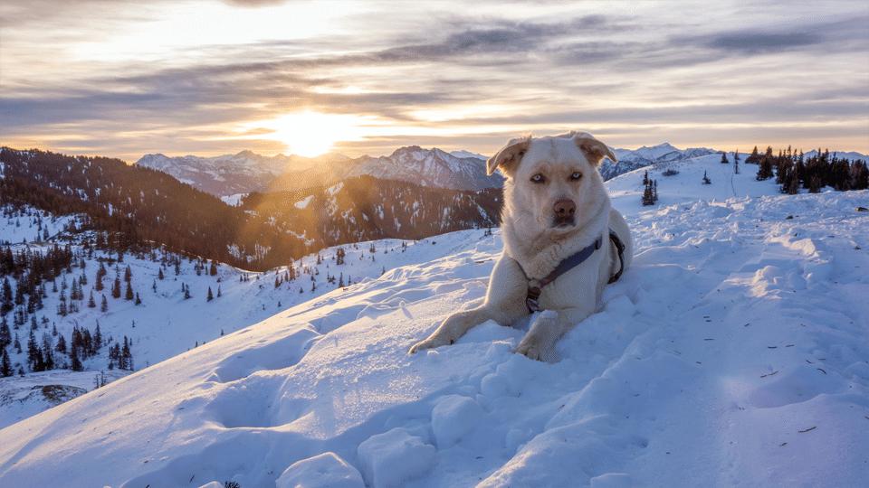 Câine rasa Chinook stând culcat în zăpadă.
