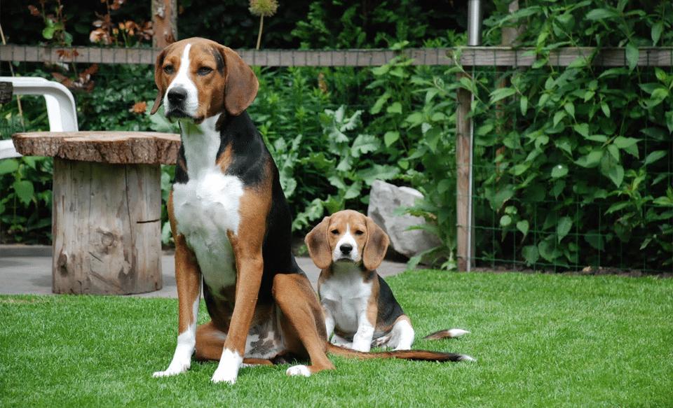 Câine și pui rasa Harrier stând în fund pe iarbă.