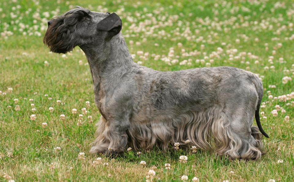 Câine Cesky Terrier văzut din profil.