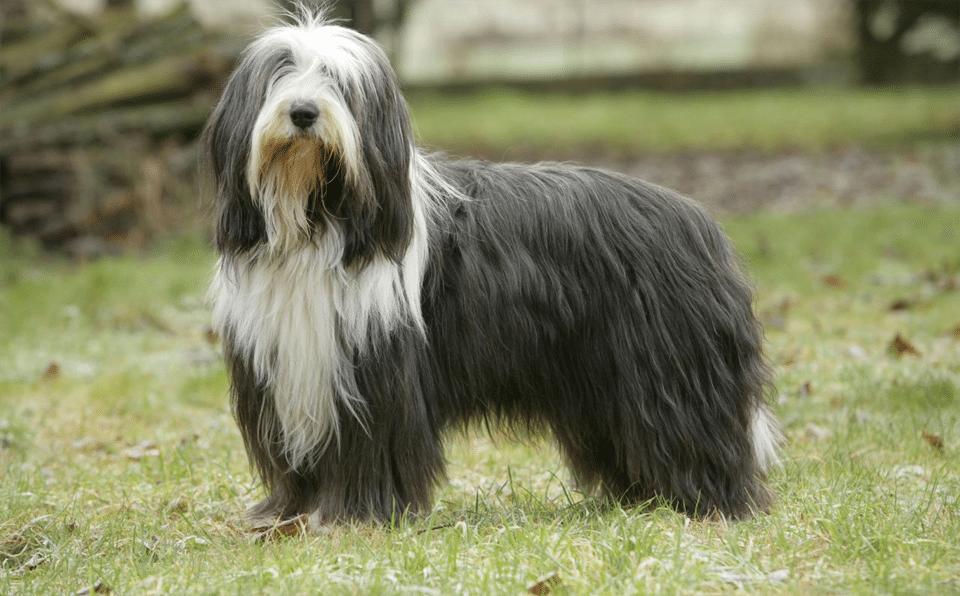 Câine Collie bărbos stând în iarbă.