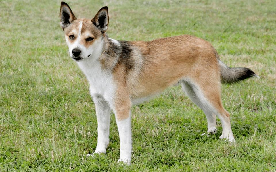 Câine Lundehund Norvegian stând în iarbă.