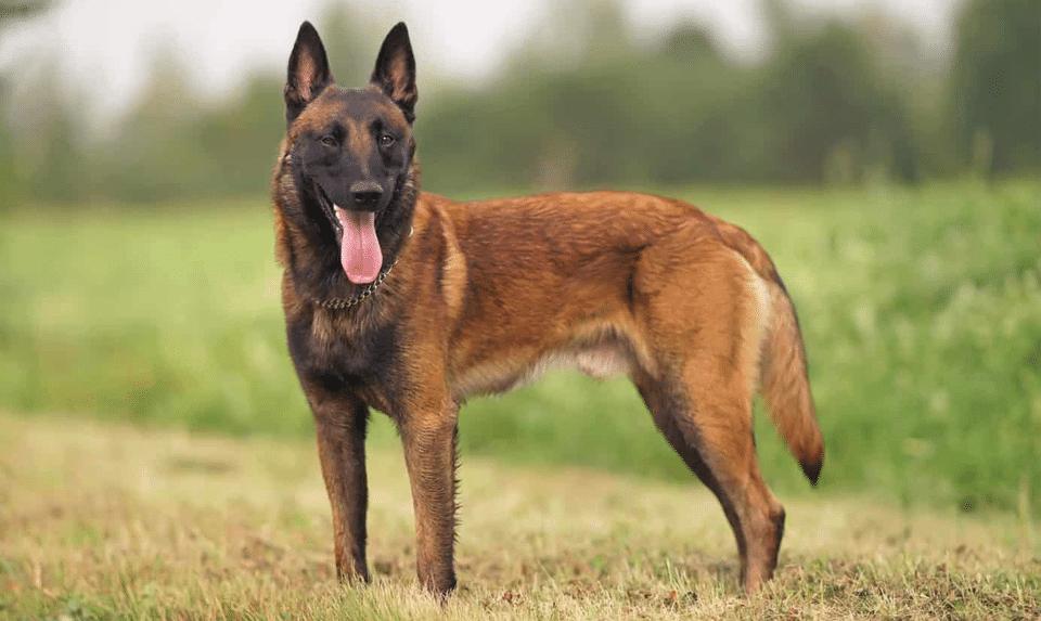 Câine Malinos belgian stând în iarbă.