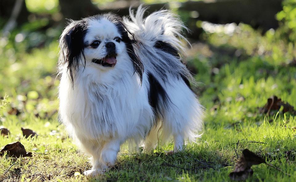Câine Chin japonez (Spaniel japonez) mergând prin iarbă.