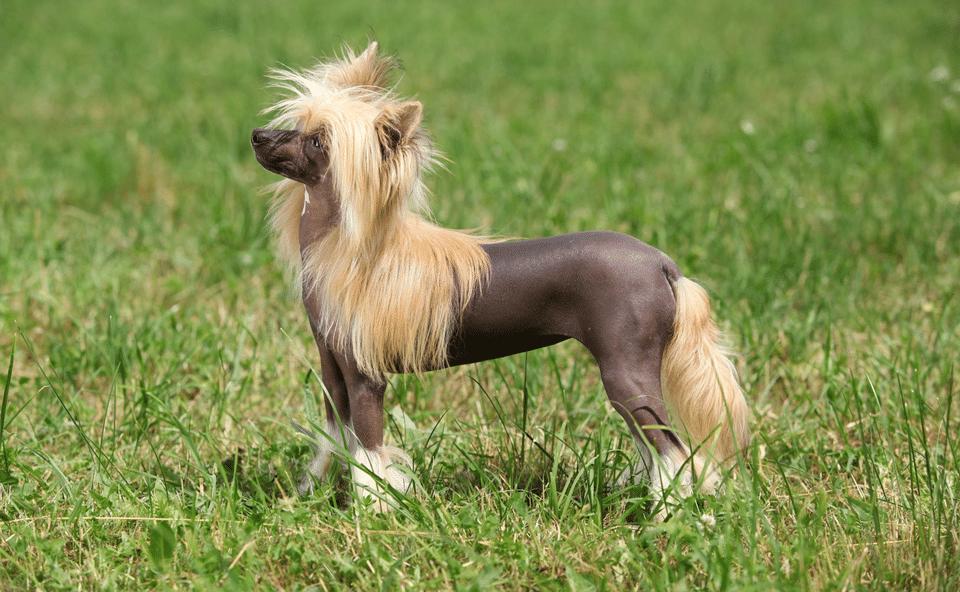 Câine chinez cu creastă stând în iarbă.