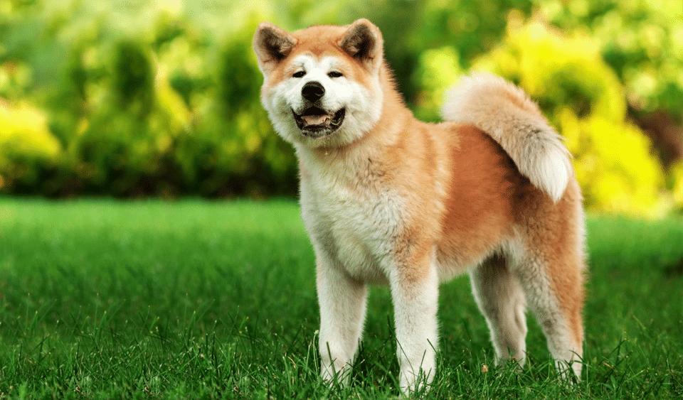 Câine rasa Akita stând în iarbă.