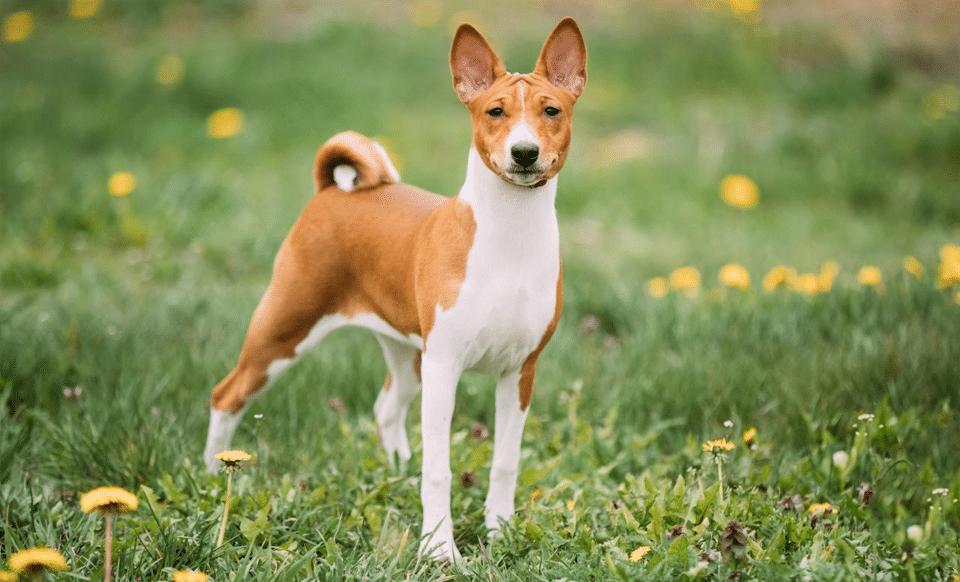 Câine rasa Basenji stând în iarbă.