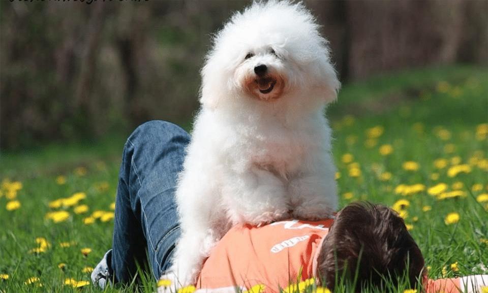 Câine rasa bichon Bolognese stând pe burta stăpânului său.