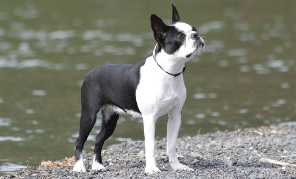 Câine rasa Boston Terrier stând pe malul unui lac.