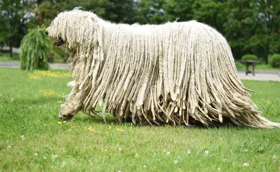 Câine din rasa Komondor mergând prin iarbă.