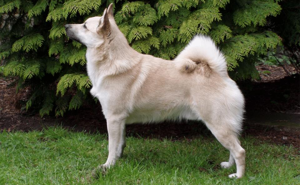 Câine rasa Buhund văzut din profil.