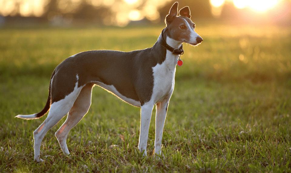 Câine rasa Ogar englez stând în iarbă.
