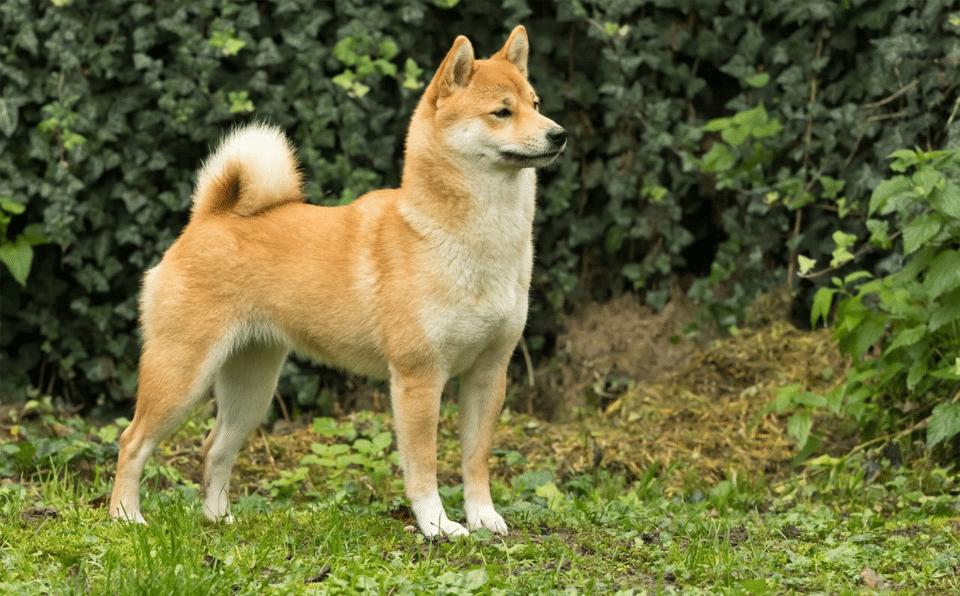Câine rasa Shiba Inu stând în iarbă.