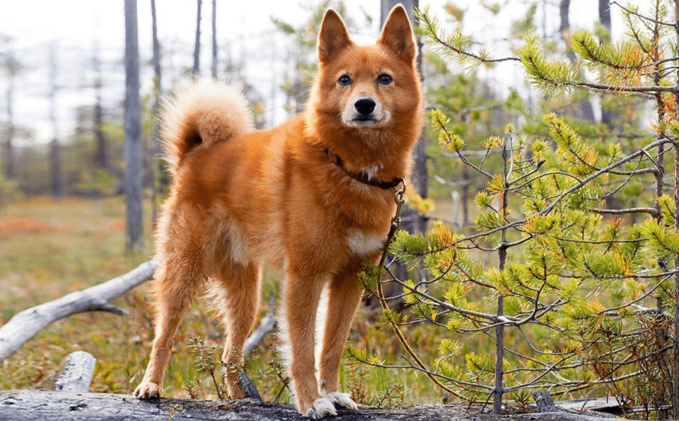 Câine Spitz Finlandez (Finkie) stând pe un copac căzut într-o pădure.