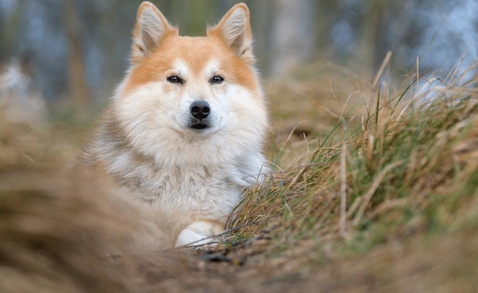 Câine din rasa Ciobănesc islandez stând culcat în iarbă.