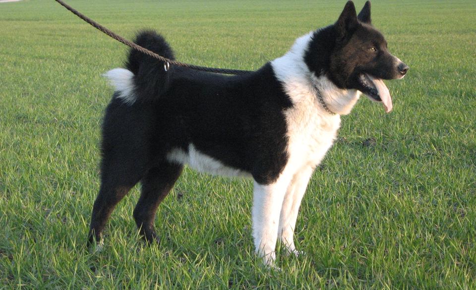 Câine urs de Carelie stând în iarbă cu o lesă la gât.