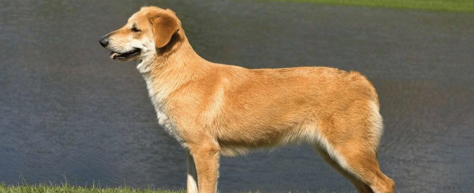Câine rasa Chinook stând pe malul unui lac.