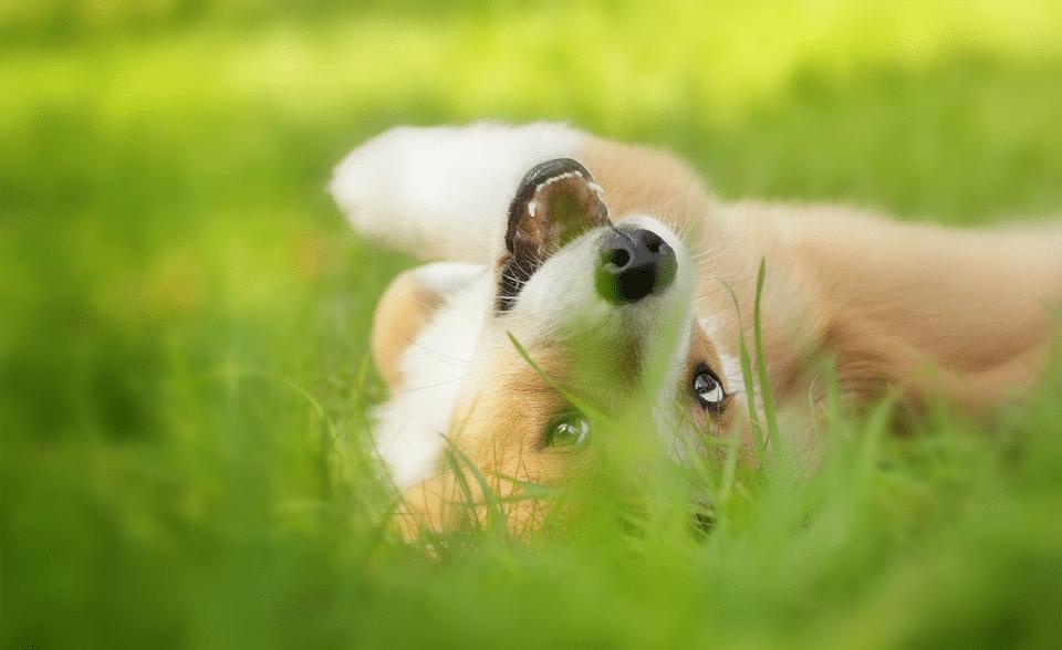 Cățel stând culcat pe spate în iarbă.