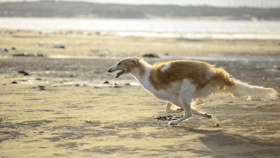 Câine rasa Barzoi alergând pe o plajă.