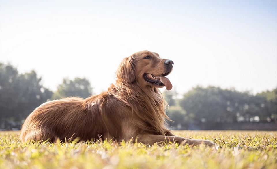 Câine Golden Retriever stând culcat în iarbă.