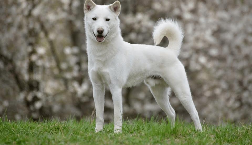 Câine rasa Jindo coreean stând în iarbă.