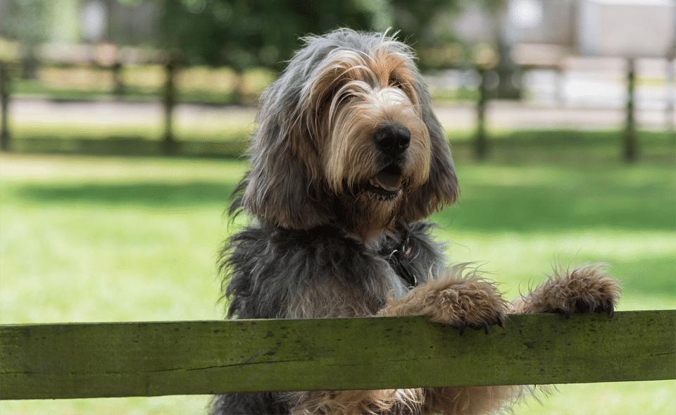 Câine rasa Otterhound stând în două labe pe un gard din lemn.