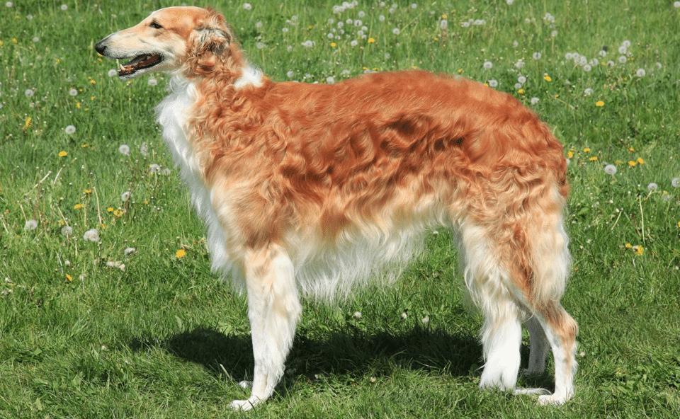 Câine rasa Barzoi stând în iarbă.