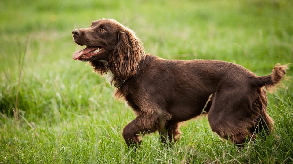 Câine Boykin Spaniel mergând prin iarbă.