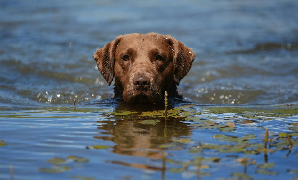 Câine Chesapeake Bay Retriever înotând prin apă.