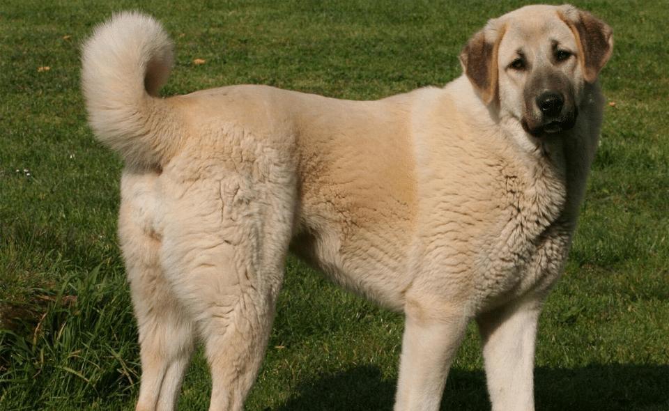 Câine rasa Ciobănesc de Anatolia stând în iarbă.