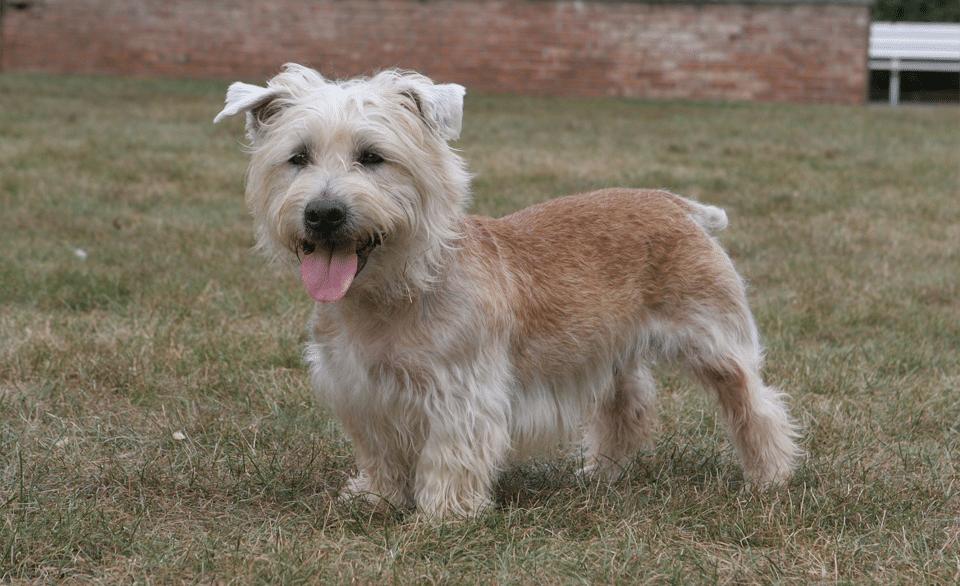Câine rasa Glen of Imaal Terrier stând în iarbă.