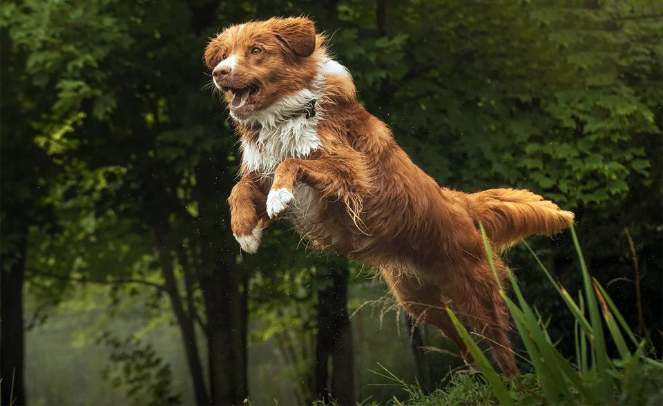 Câine Nova Scotia Duck Tolling Retriever în săritură.