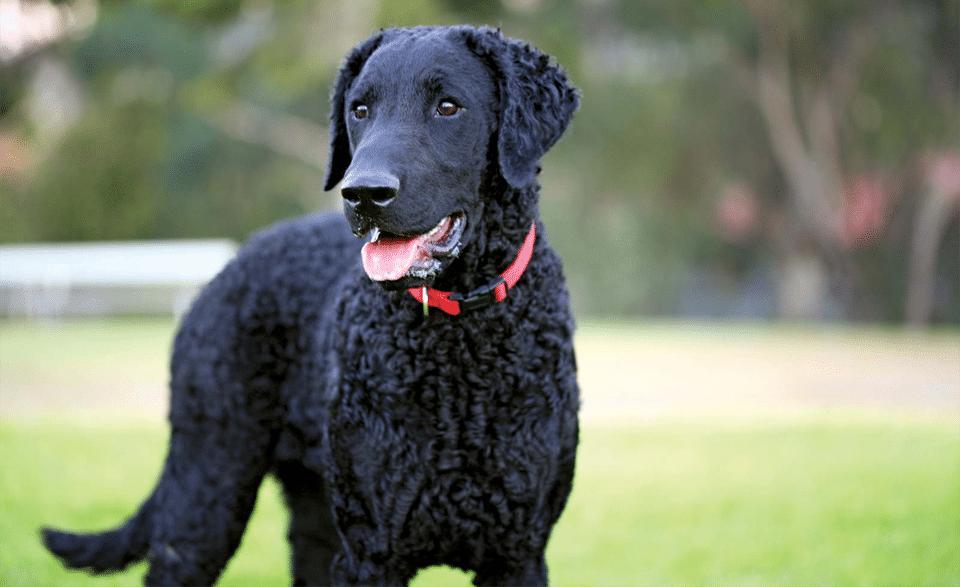 Câine Retriever cu blana cârlionțată văzut de aproape.