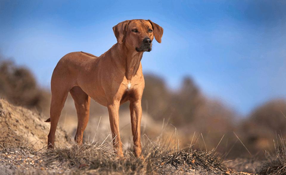 Câine rasa Rhodensian Ridgeback văzut de aproape.