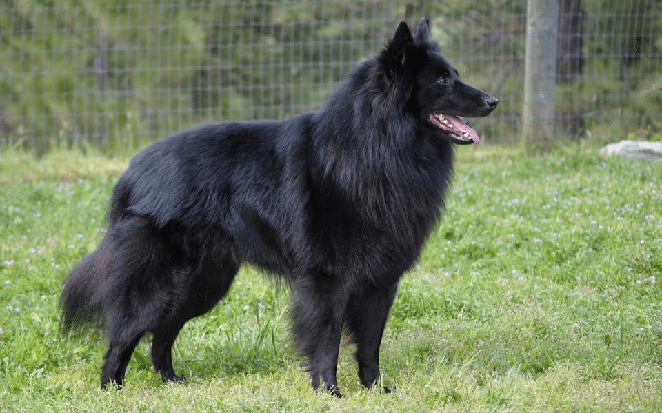 Câine ciobănesc belgian văzut din profil.