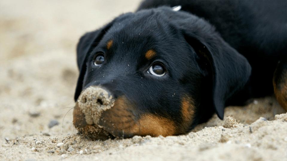 Câine rotweiller stând culcat cu nisip pe nas.