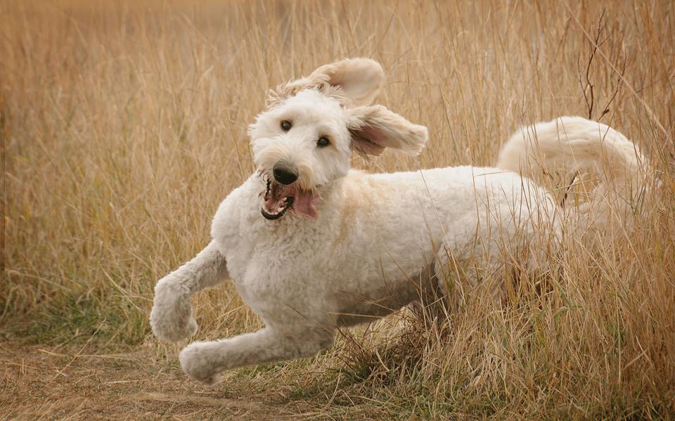 Câine alb alergând prin iarbă uscată.